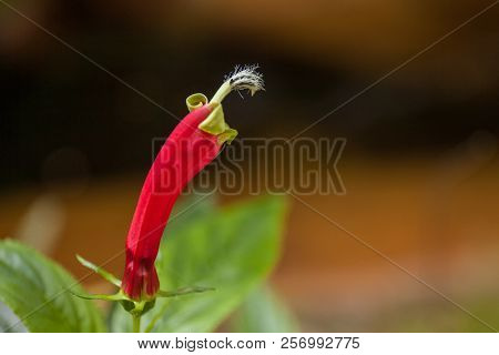 Rare Plant Flower Of Rain Forest In High Mountain Tropical Bolivia. Macro
