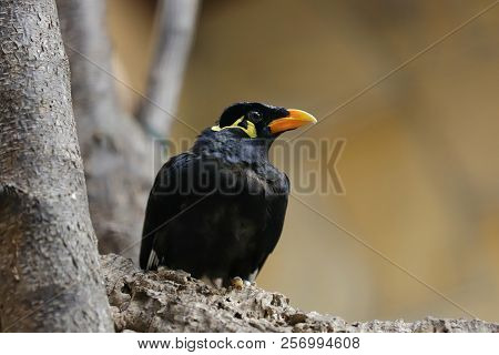 Close-up Of Common Hill Myna On The Branch. Photography Of Nature And Wildlife.