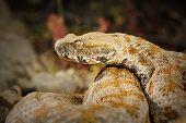 portrait of rarest european venomous snake, the Milos viper ( Macrovipera lebetina schweizeri ) poster
