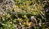 Green lizard camouflaged in undergrowth in nature in France poster
