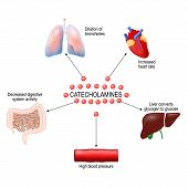 stress response system activation. Catecholamine: Adrenaline, Dopamine, Norepinephrine. Human anatomy. Vector diagram for your design, educational, medical, biological and science use poster