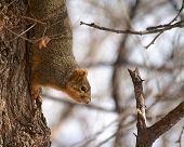 Squirrel crawling on tree looking for something to eat in winter climate poster