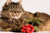 Fluffy cat is waiting with a valentine rose poster