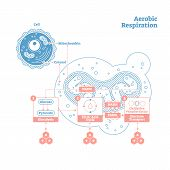 Aerobic Respiration bio anatomical vector illustration diagram, labeled educational medical scheme. Clean outline style drawing poster. Presentable scientific information close up cross section design poster