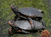 Spotted Turtles (clemmys guttata) in the act of mating poster