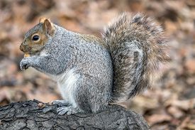 Sciurus Carolinensis, Common Name Eastern Gray Squirrel Or Grey Squirrel Depending On Region, Is A T