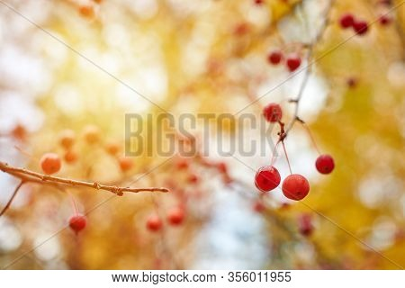 Viburnum Berries On Branches In Garden Tree. Autumn Berries In Sunlight.