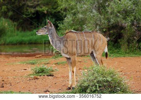 The Greater Kudu (tragelaphus Strepsiceros)  Female Woodland Antelope Near The Waterhole. Big Antelo
