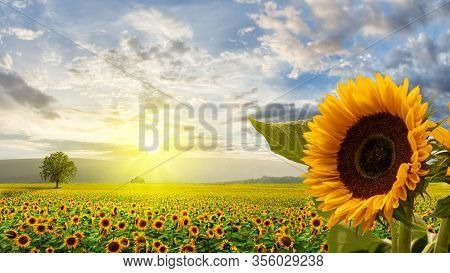 Wonderful Sunflower Field In The Sunrise With Impressive Sky And Big Sunflower In The Foreground.