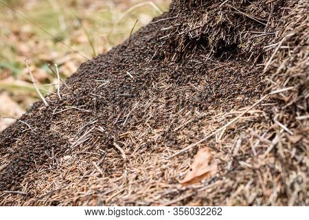 Big Anthill With Colony Of Ants In Forest Woods.