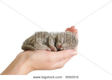 Small mauve kitty sleeping on woman's palm. 3 days from birth poster