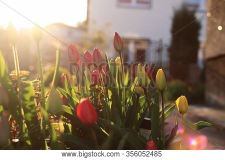 Amazing Garden Tulips In The Garden With Sun Beams During Golden Hour. Typical Tulipa In Shadows Of