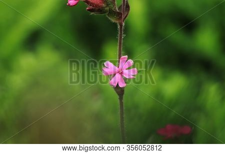 Geranium Robertianum Famous As Red Robin, Death Come Quickly, Storksbill, Fox Geranium, Stinking Bob