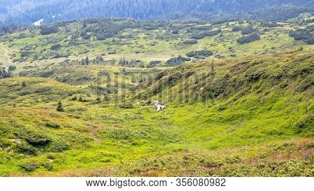 Highlands Where A Flock Of Sheep Grazes. Sheep Graze In The Mountains. Traditional Economy Highlande