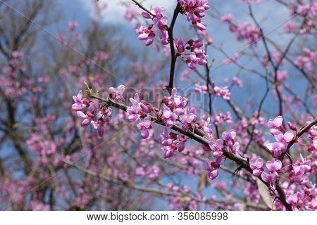 Branch Of Blossoming Cercis Canadensis Against Blue Sky In April