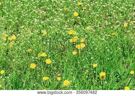 Meadow Grass, Green Spring Lawn With Bright Yellow Blowballs And White Wild Flowers. Flowery Backgro