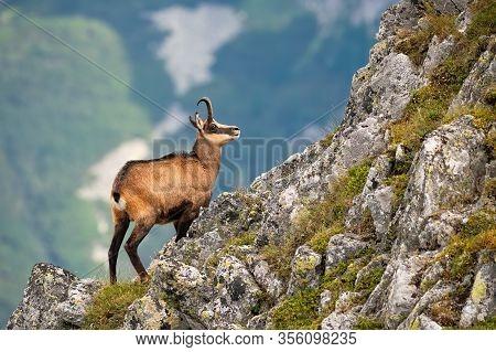 Vital Tatra Chamois Climbing Rocky Hillside In Mountains
