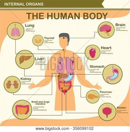 Human Body Infographic. Character With Organ Collection Such As Lung, Brain, Heart, Liver, Thyroid,