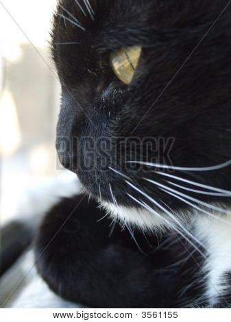 Black And White Sweet Cat Looks Out A Window
