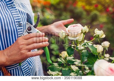 Senior Woman Gathering Flowers In Garden. Middle-aged Woman Cutting Roses Off With Pruner. Gardening