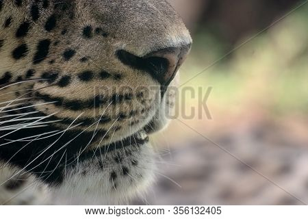 Close Up Of The Snout, Nose And Whiskers Of An Asian Leopard