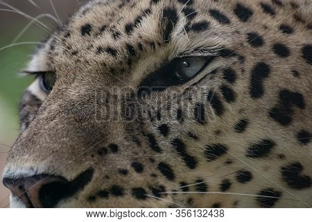 Close Up Portrait Of The Eyes And Gaze Of A Beautiful Female Asian Leopard