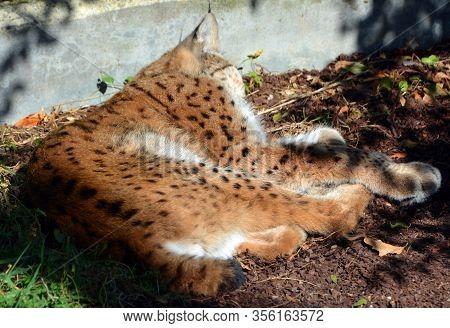 The Eurasian Lynx (lynx Lynx), Also Known As The European Or Siberian Lynx