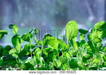 A Watercress Salad. Young Plants. Seedling Plants. Growing.