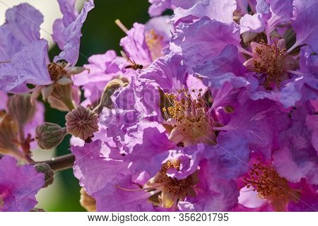 purple flowers of Queens Crape Myrtle