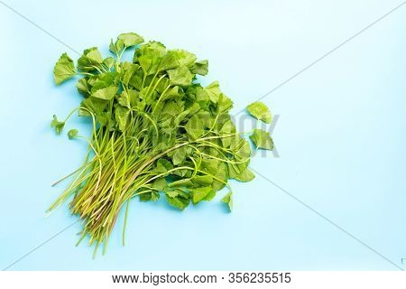 Gotu Kola Leaves On Blue Background. Copy Space