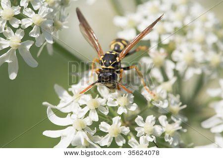 Wasp closeup