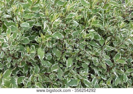 Natural Background Of White-green Leaves. Cornus Alba Sibirica Variegata - Dogwood