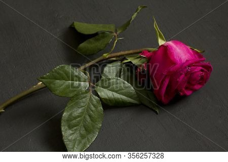 A Lonely One Scarlet Purple Red Beautiful Languid And Wilted Rose Lies On A Black Modern Background.
