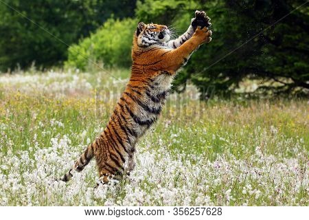 The Siberian Tiger (panthera Tigris Tigris),also Called Amur Tiger (panthera Tigris Altaica) On A Me