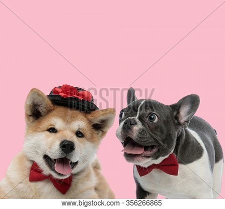 team of akita inu and french bulldong panting and sticking out tongue on pink background