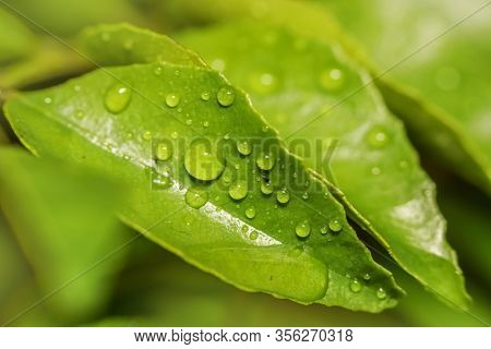 Close up shot of Curry leaves with water droplets