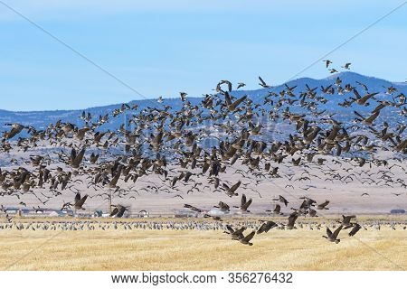 Blastoff Of Canada Geese. Migratory Birds Of Colorado. Canada Geese Flying In The Rocky Mountains Of