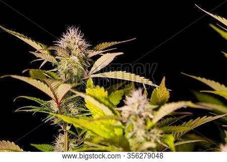 Home Grown Medical Marijuana Cannabis Plant Growing Indoor With Black Background
