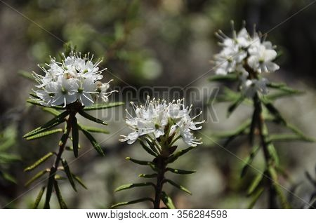 White Blooming Flowers Of Ledum Palustre In The Summer Forest. Purity Of Green Wood