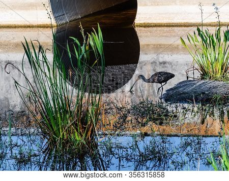 Reflecting Water Nature Background Of A Solitary Limpkin Feeding In A Florida Stream With A Culvert