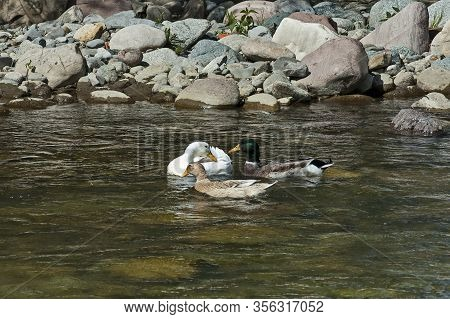 A Group Of Male And Female Mallard Ducks Plunge In A Love Game In The Springtime River Vit Near The