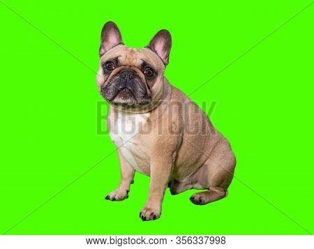 Cute French Bulldog Dog On Chroma Key Green Screen Looking At Camera