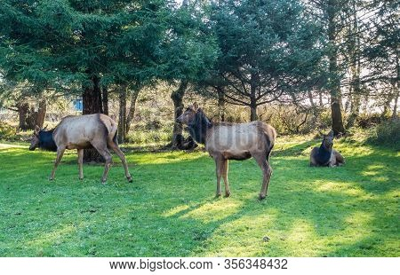 Three Roosevelt Elk On A Grass Lawn In Cannon Beach, Oregon.