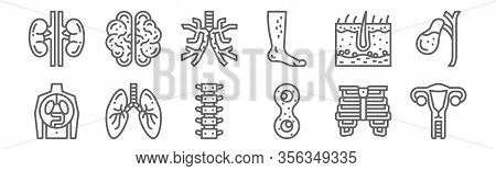 Set Of 12 Human Organ Icons. Outline Thin Line Icons Such As Uterus, Mitosis, Lungs, Epidermis, Bron