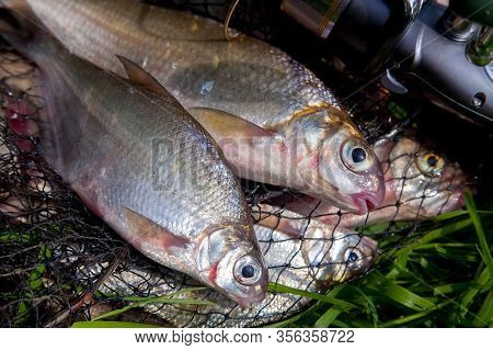 Two Freshwater White Bream Or Silver Bream On Keepnet With Bronze Breams Or Carp Breams On Green Gra