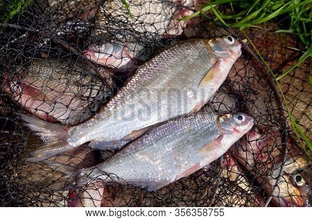 Two Freshwater White Bream Or Silver Bream On Keepnet With Bronze Breams Or Carp Breams On Natural B