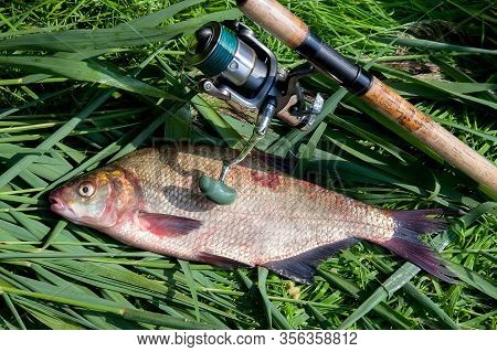 Big Freshwater Common Bream Fish And Fishing Rod With Reel On Green Reed..