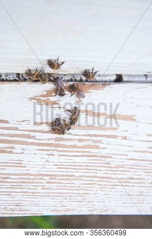 Plenty Of Bees At The Entrance Of White Beehive In Apiary..