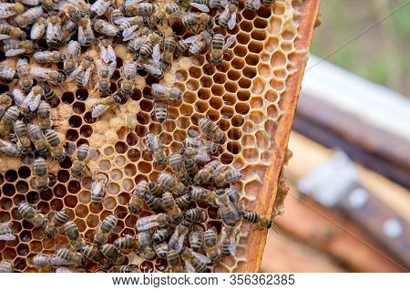 Working Bees In A Hive On Honeycomb. Bees Inside Hive With Sealed And Open Cells For Their Young..