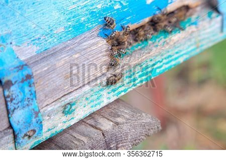 Swarming Bees At The Entrance Of Blue Beehive In Apiary..